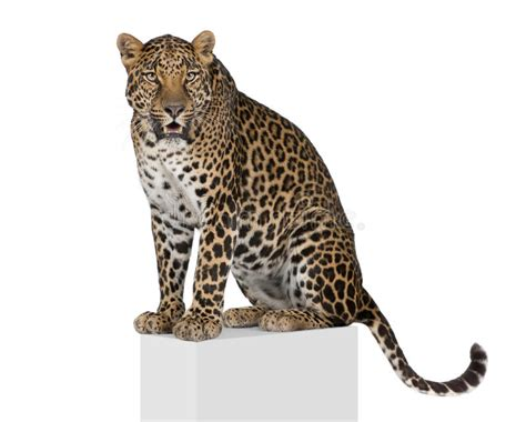 Leopard Climbing In Front Of A White Background Stock