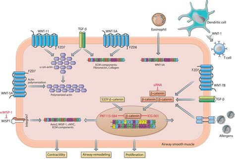 'WNT-er is coming': WNT signalling in chronic lung