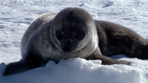 Seal pup's underwater lessons - Animal Super Parents
