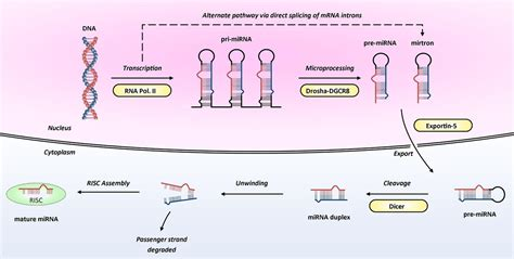 MicroRNAs in cardiovascular disease: an introduction for