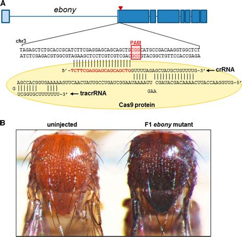 RNA-Guided Genome Editing in Drosophila with the Purified